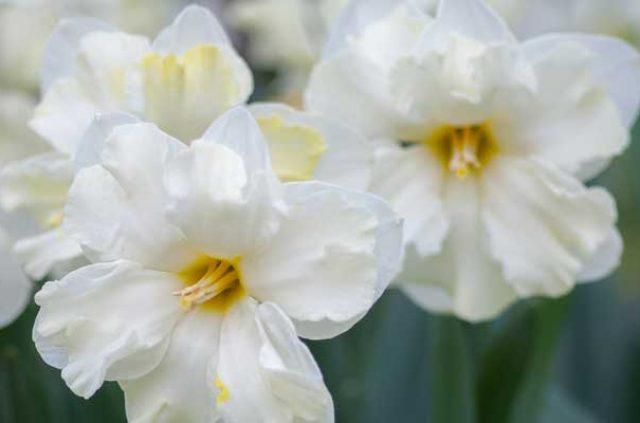 daffodils-white